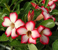 Tropica Nursery Adenium Cultivar Catalog