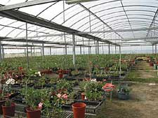 A Taiwanese Adenium Nursery Fully Under Plastic Greenhouses The Overall Standard Of Plants Is Much Better In Taiwan But So Are Prices