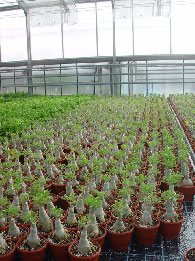 Grafted Adeniums Growing In A Greenhouse Europe Part Of Trial Shipment To Test Adenium As Floriculture Pot Plant We Hope Make Quality